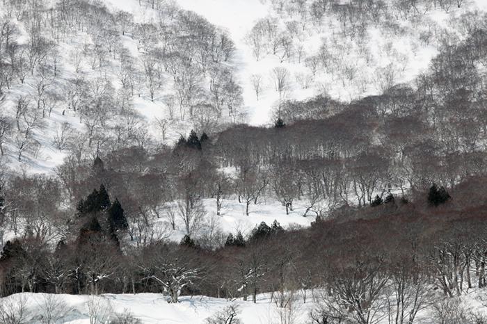 2014/3/9東栗駒山の木々①