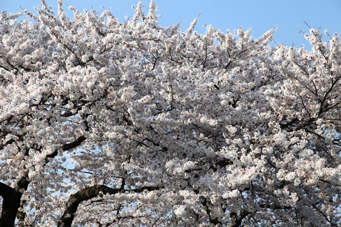4月19日 磐井川の満開の桜1