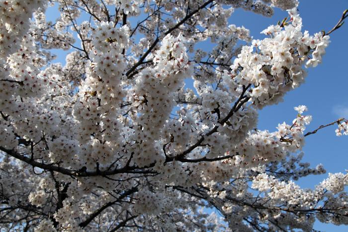 4月19日 磐井川の満開の桜2