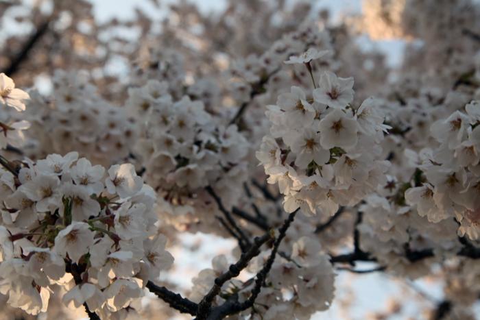 4月19日 磐井川の満開の桜4