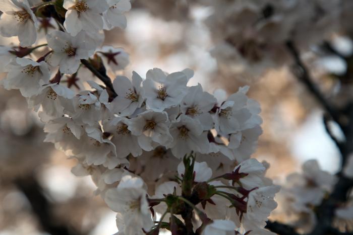 4月19日 磐井川の満開の桜5
