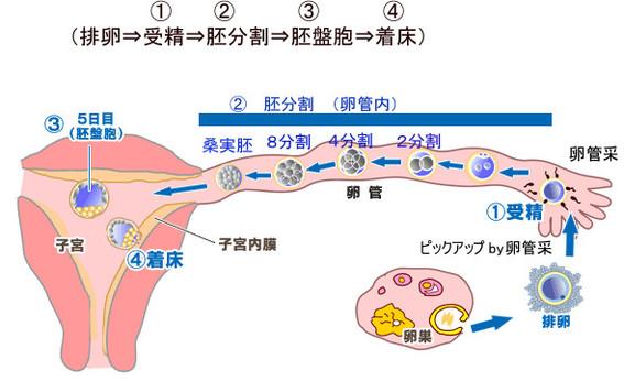 排卵から受精-着床までの流れ[1]