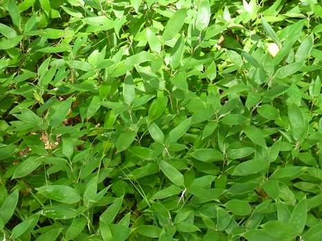 「オカメザサ ~最も小さい竹類」