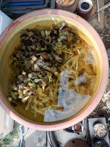 2014.3.23 金魚鉢 (めだか) 058 (2)