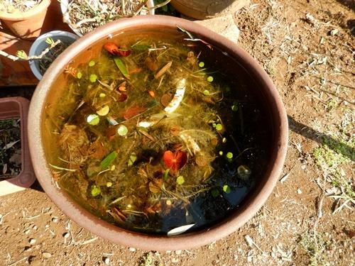 2014.3.23 金魚鉢 (めだか) 058 (1)