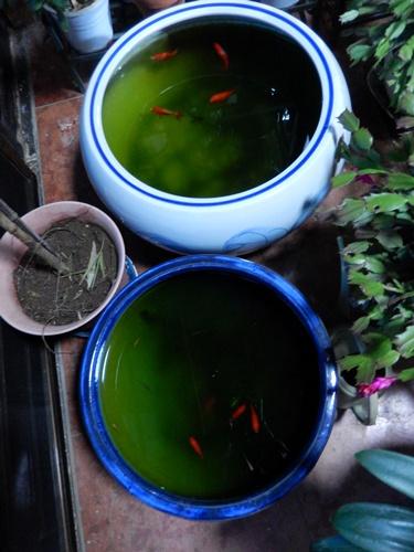 2014.3.30 金魚鉢 (中) 004