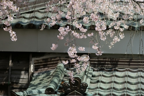 2014.4.1 東金八角湖の桜 (5)