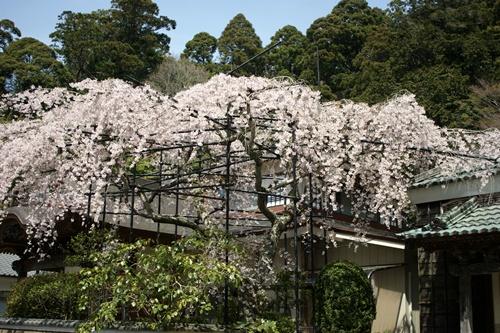 2014.4.1 東金八角湖の桜 (4)