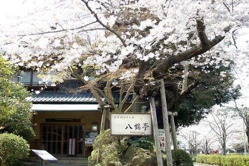 2014.4.1 東金八角湖の桜