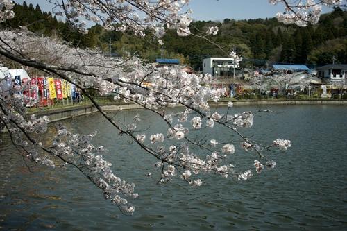 2014.4.1 東金八角湖の桜 (3)