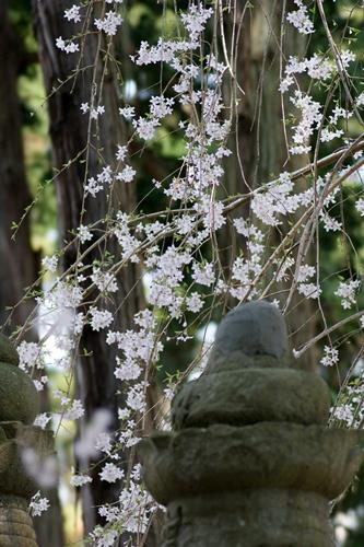2014.4.1 東金八角湖の桜 (2)