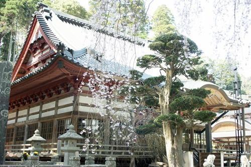 2014.4.1 東金八角湖の桜 (1)