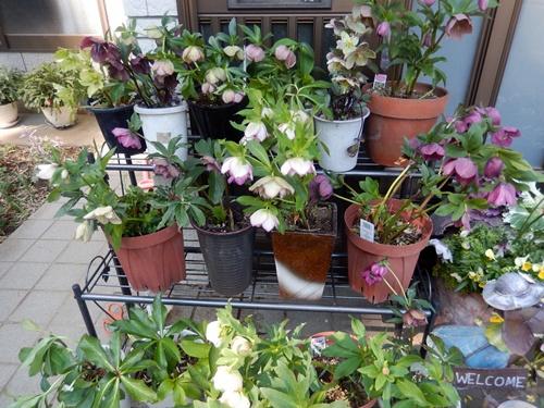 2014.4.4 庭の花 (自宅) 016 (1)