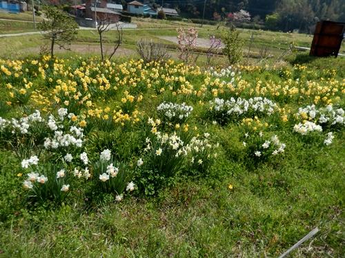 2014.4.10 畑の花木 (水仙畑) 013 (2)