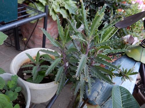2014.9.3多肉植物 008 (3)