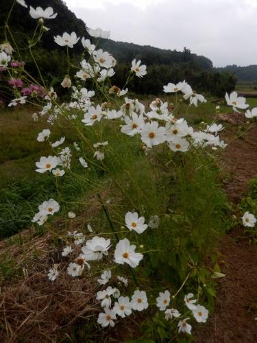 2014.10.2 栗畑のコスモス 013 (2)