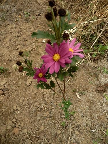 2014.10.2 栗畑のコスモス 013 (1)
