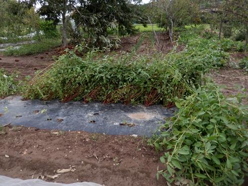 2014.10.7 台風の通過した畑 001 (19)
