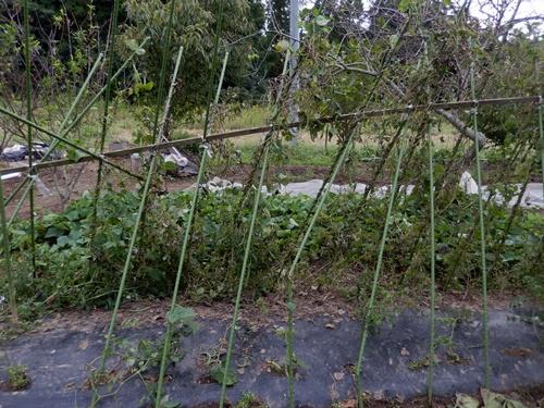 2014.10.7 台風の通過した畑001 (28)