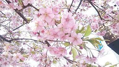 2014 河津桜