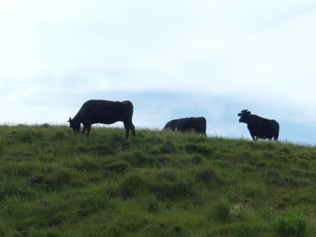 四国カルスト 牛たち 1