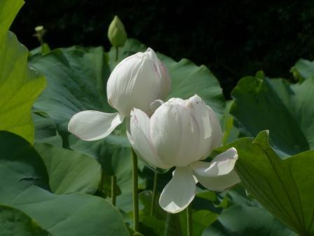 浄瑠璃寺 ハスの花
