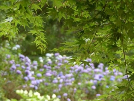 皿ヶ嶺・風穴付近 青モミジ & 紫陽花