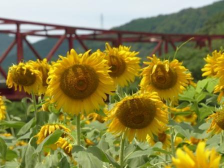 大洲・五郎河原 ヒマワリ 5