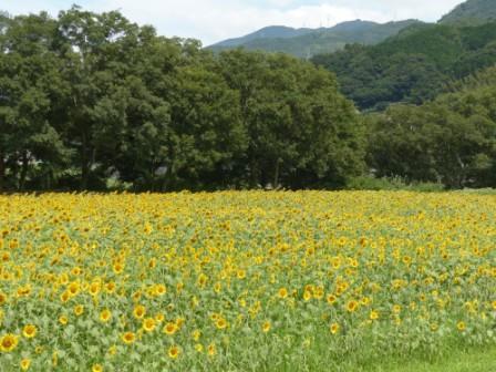 大洲・五郎河原 ヒマワリ 1