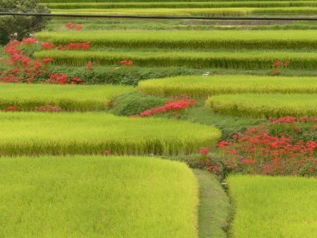 窪野町 畦に咲く 彼岸花 2