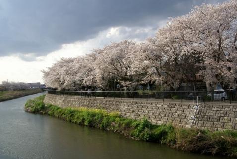 2007-11-05 平成26年度4月桜風景 010 (800x536)
