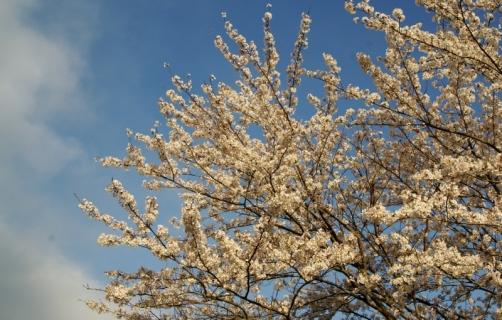 2007-11-05 平成26年度4月桜風景 025 (800x510)