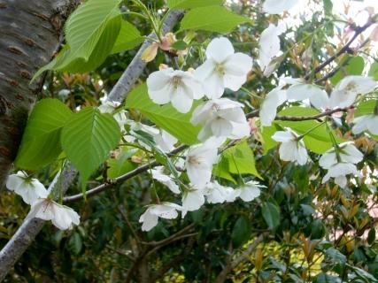 2014-04-13 26年度4月12日園庭桜 004 (800x600)