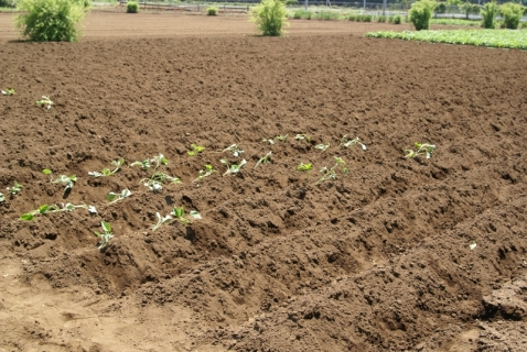 2014-05-09 26年度年長さつまいも苗植え・山王公園5月9日 030 (800x536)