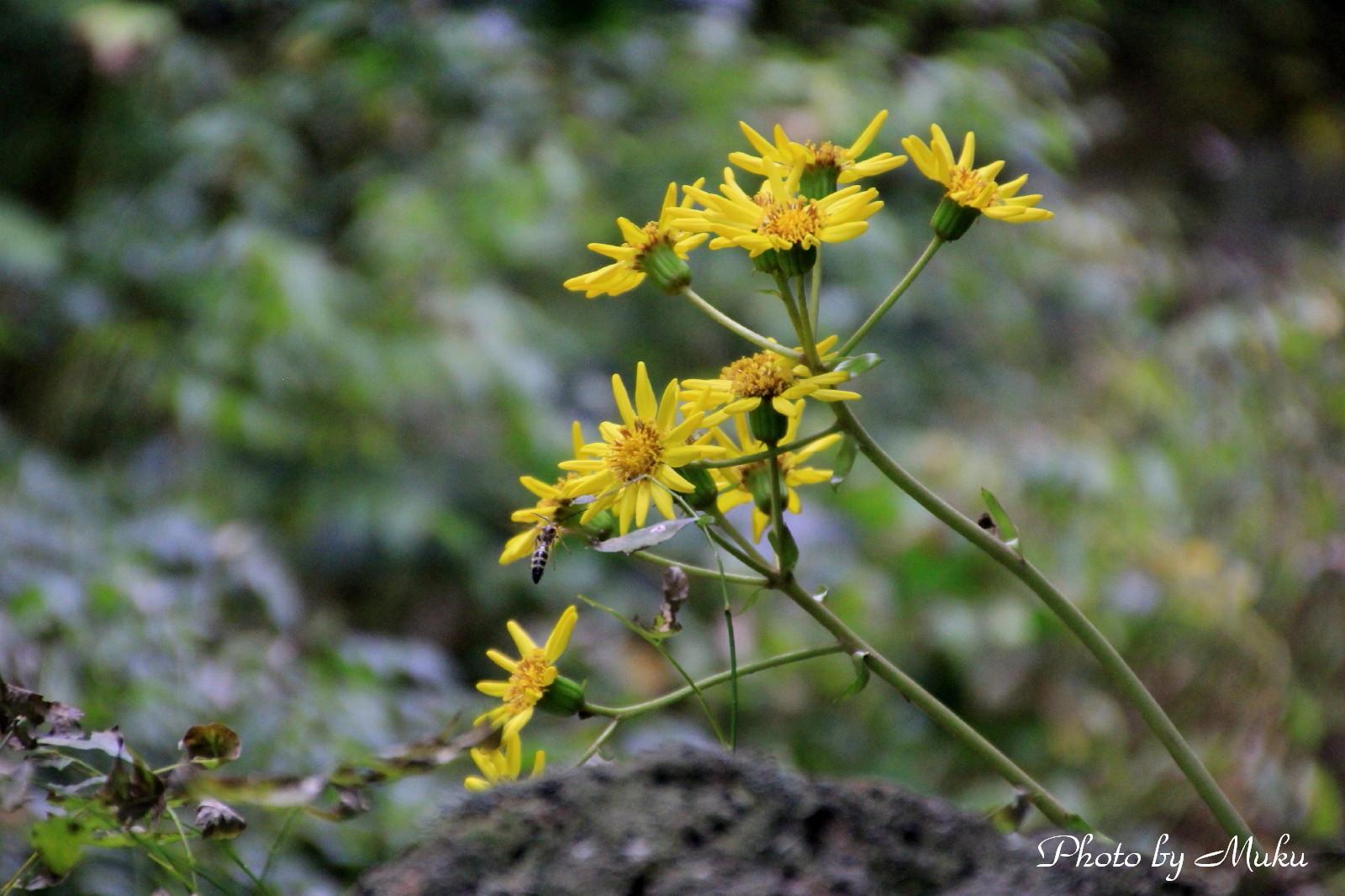 2014.10.20 石蕗(つわぶき)の花 (秩父宮記念公園:静岡県御殿場市)