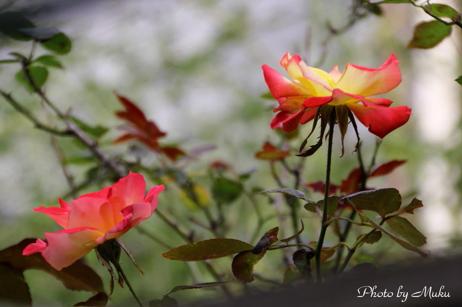 2014.10.21 秋の薔薇 (句会への道:神奈川県横須賀市)
