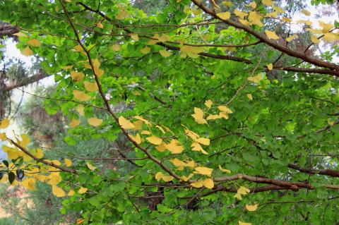 2014.11.09 銀杏紅葉 (舞岡八幡宮:神奈川県横浜市)