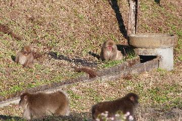 サルの群れ⑩