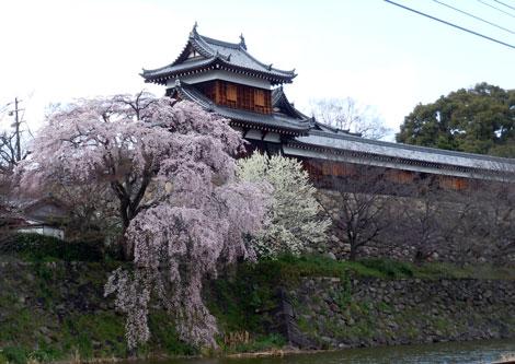 14.3.27枝垂れ桜2
