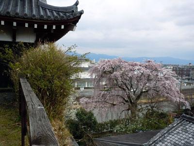 14.3.27枝垂れ桜
