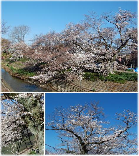 14.3.31川路桜