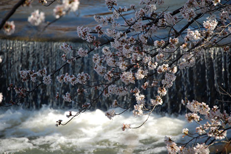 14.3.31桜水