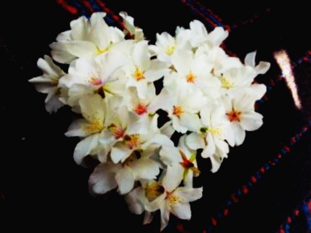 桜の押し花にする桜