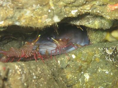 11-09 サラサエビ、クロアナゴ