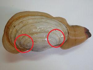 白ミル貝の捌き方03