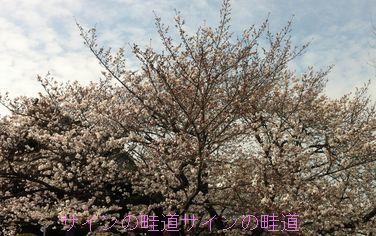 201429sakura.jpg