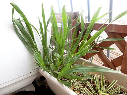 猫草の横に植えているのは、オリヅルラン