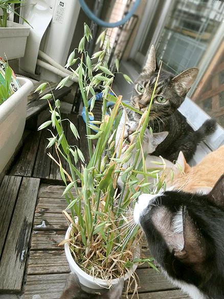 猫の草の種はこんな風にできますの~