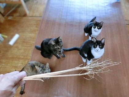 猫草じゃらし発動します!!!