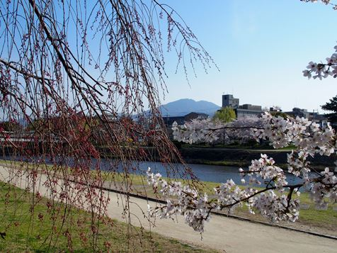 鴨川の桜も見ごろです。